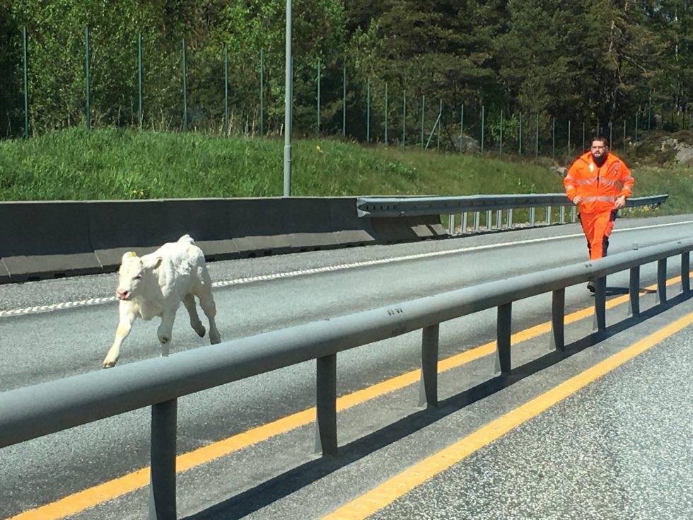 Kalvekrefter Erstattet Hestekrefter På E18