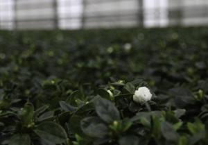 7000: Opp Mot 7000 Planter Vokser Seg Klare Til Salg Hos Olsens Handelsgartneri. Foto: Grete Helgebø