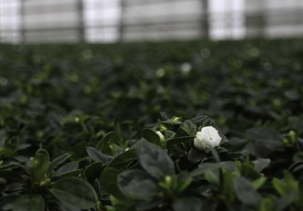 Et Langt Blomsterliv På Vei Til Butikkhyllene