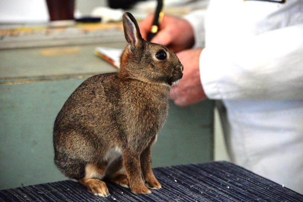 """DVERGHARA: Dette Er En Liten Dverghare, Som Skal Være Litt Lengre Og Slankere Enn """"vanlige"""" Kaniner."""
