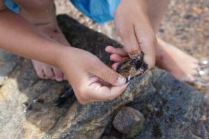Blåskjell Er Sjeskemat For Strandkrabber Og Strandløver - Men Hvor Er De Blitt Av?
