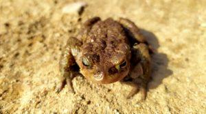 PÅ FARTEN: Froskene Er Nå På Vei Tilbake Til Tjenna Der De Ble Klekket, For å Føre Genene Sine Videre. En Kort Spasertur Fra Tjenna På Tromøy Møtte Vi Fire Frosk.