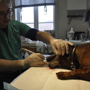 Så hunden din ikke skal bli tannløs: Med «Billy» til tannlegen